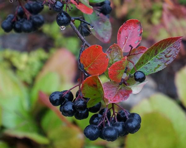 Kvist med aroniabär - nyttiga aroniabär på prydnadsbuske.