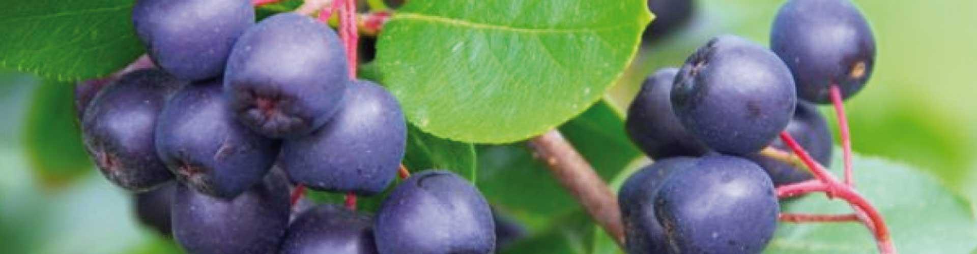 <strong>Mest antioxidanter i aronia</strong>
