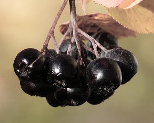 Aroniabär är rika på polyfenoler - polyfenoler kan förlänga livet.