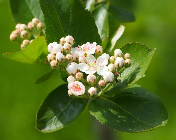 Blommande aronia - bären från aronia kan ha en antidepressiv effekt.
