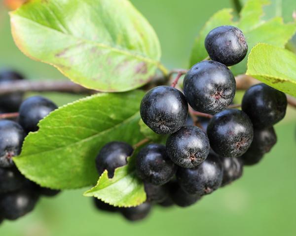 Aronia - aroniajuice kan förebygga urinvägsbesvär